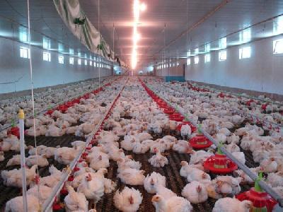 Кормление сельскохозяйственных птиц