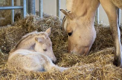 Кормление жеребых и подсосных кобыл