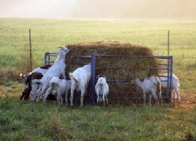 Кормление коз: особенности, рацион, нормы
