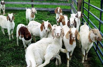 Выбираем породу козы для разведения
