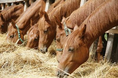 Кормление спортивных лошадей