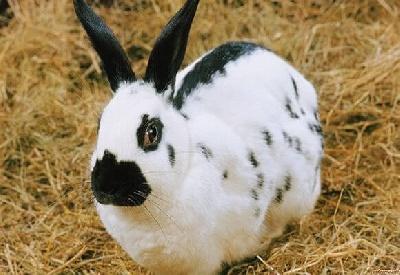 Вздутие живота у кроликов: причины, симптомы, лечение