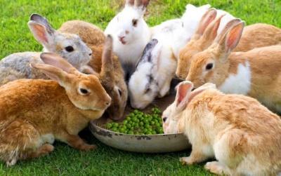 Можно ли кроликам давать горох?