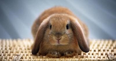 Рекомендации по содержанию декоративного кролика в домашних условиях