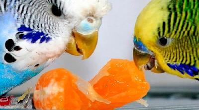 Какие фрукты могут быть включены в рацион попугая?