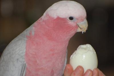 Можно ли давать яйца попугаям?