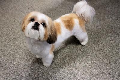Правильная стрижка собаки породы ши-тцу