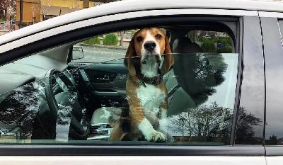 Можно ли оставлять собаку в машине?