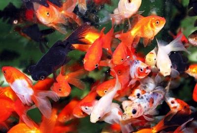 Породы и виды золотых рыбок