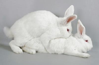 """Плодятся ли кролики """"как кролики""""?"""