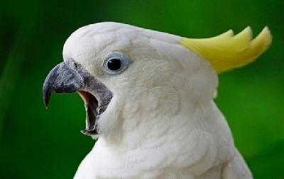 Почему попугаи такие крикливые?