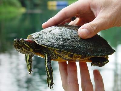 Содержание и уход за домашней черепахой