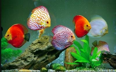 Как определить стресс у рыбок?