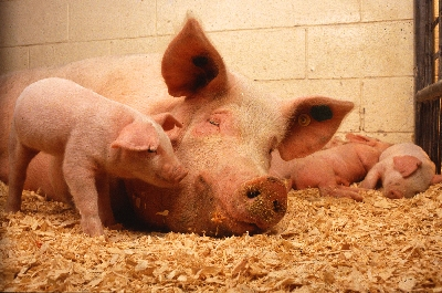 Вся правда о свиньях